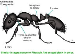 Does this natural ant killer really work?